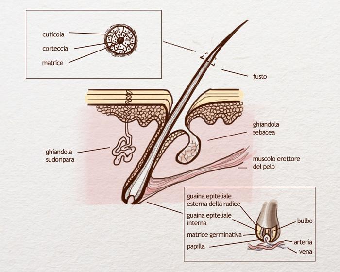 Struttura anatomica di un capello
